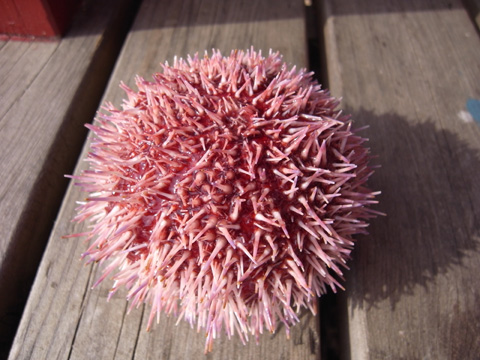 the anus of red urchin