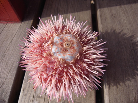the mouth of red sea urchin