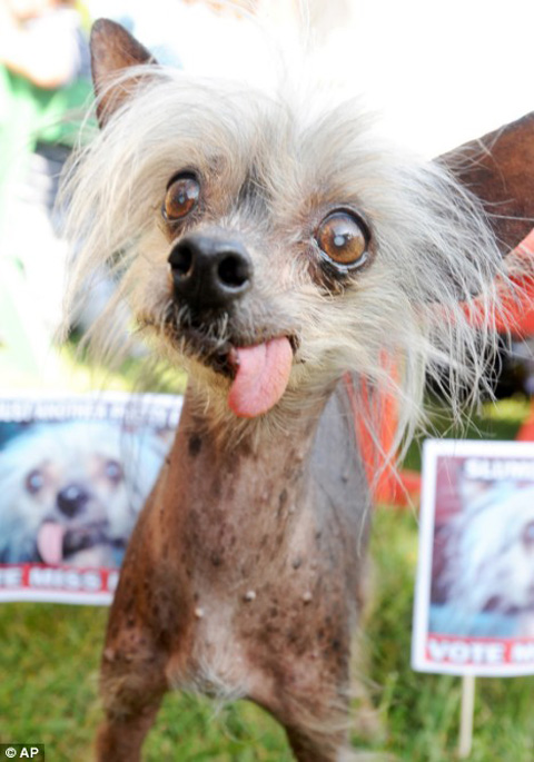 the world's ugliest pedigree dog